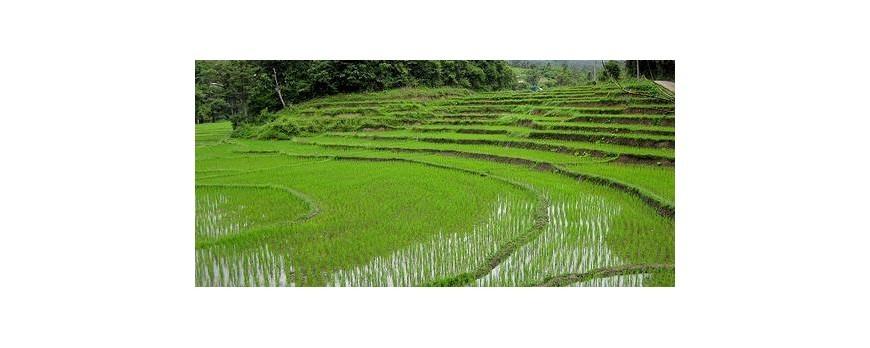 Baja la producción de arroz en Extremadura un 9%
