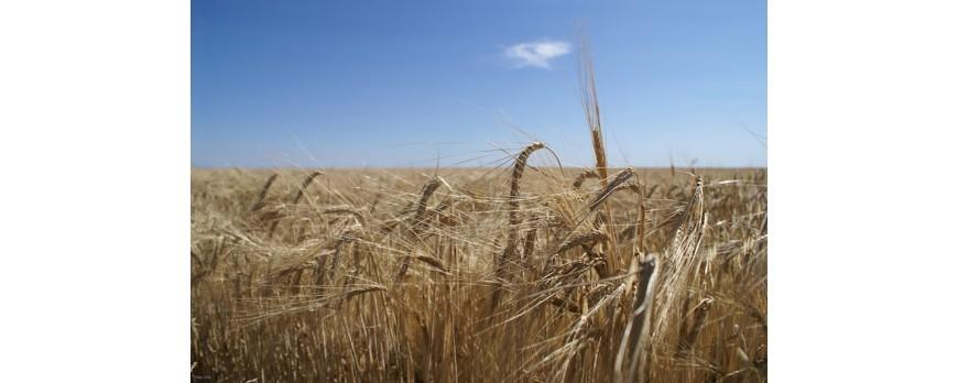 Los precios de la cebada frenan su tendencia al alza la última semana