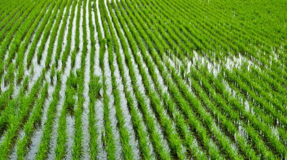 Se insta a la UE a establecer un limite para las importaciones de arroz