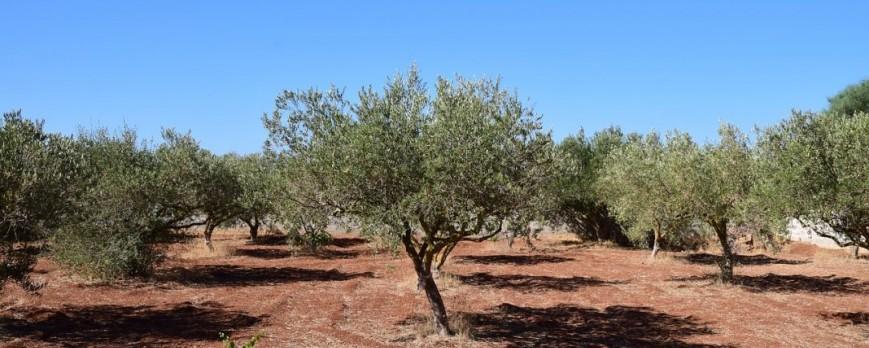 La producción nacional de aceite de oliva crecerá un 2,3 por ciento anual hasta 2030