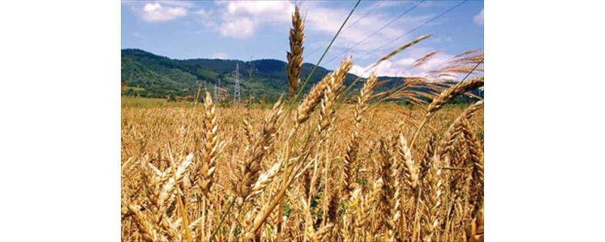 Descenso de los precios de cereales en Navidad salvo el trigo duro