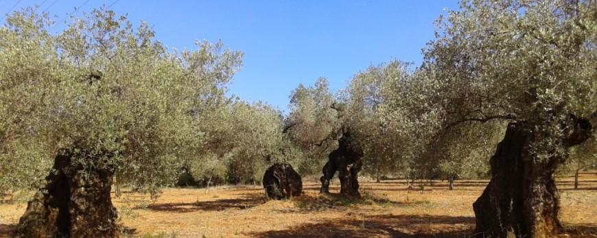Las exportaciones de aceite de oliva de 2016/2017 superan en 600 millones de euros de la campaña anterior