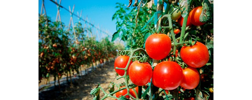 Los 3 años del veto Ruso es una medida injusta y que está acabando con la campaña hortofrutícola en España