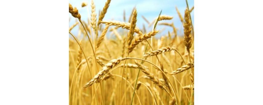 Continúa la caída de precios de cereales, a excepción del trigo duro
