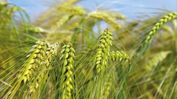 Un cereal con 10 veces más fibra y que ayuda a la salud