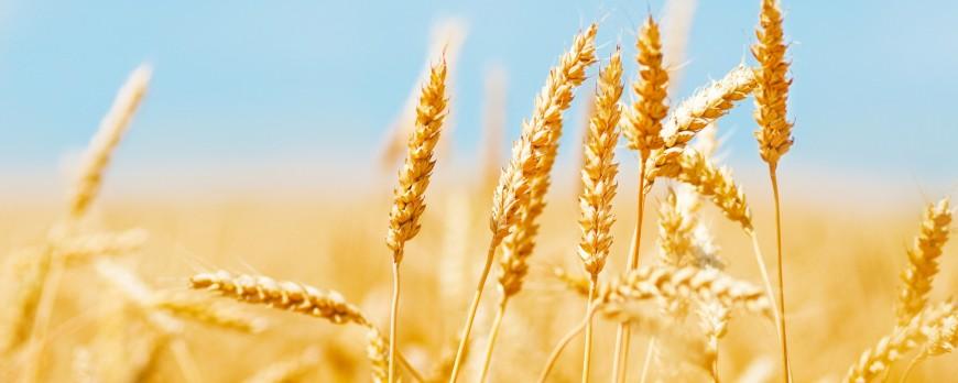 Bajan de nuevo los precios de los cereales, a excepción del trigo duro
