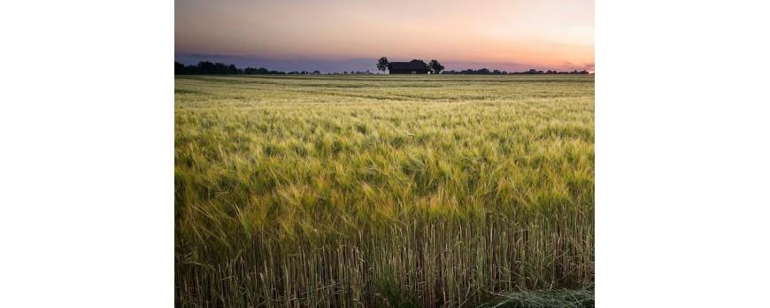 El mercado mayorista de cereales se estanca por la caída de precios