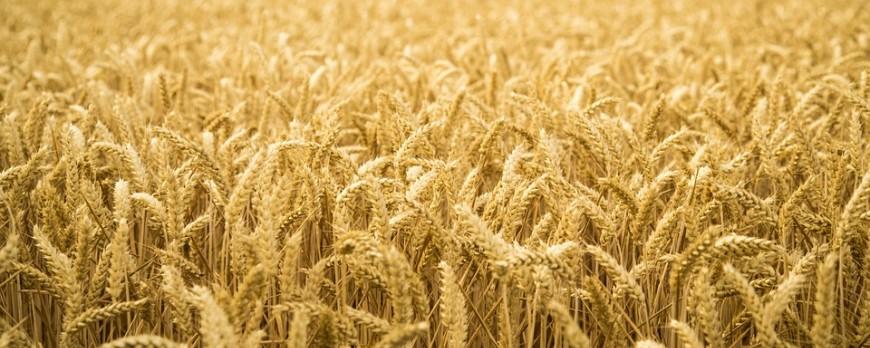 Nueva subida del precio de los cereales, a excepción del trigo duro