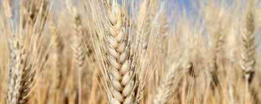 El precio del trigo blando y de la cebada baja, mientras que el precio del maíz se mantiene invariable