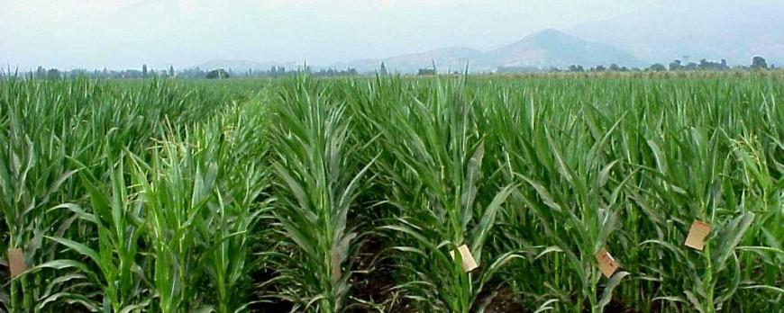 Los precios del maíz y la cebada registran una subida leve