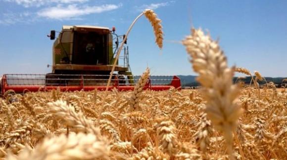 Durante la última semana, bajan los precios del trigo y maíz