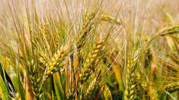 Se registra una caída generalizada de los precios de los cereales en los mercados mayoristas
