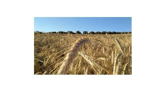 Nueva caída de precios de los cereales, a excepción del trigo blando