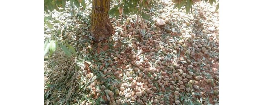 2.000 hectáreas de almendra, olivar y melocotón afectados por el granizo en la Comarca del Bajo Martín