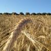 Los mercados mayoristas continúan bajando el precio de los cereales