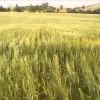 Consulta YA el precio actualizado de la lonja del Ebro y Lerida