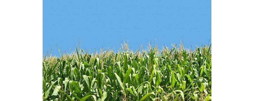 El maíz comienza a cotizar a 180€ en la lonja de León, 3 euros por debajo de la media nacional