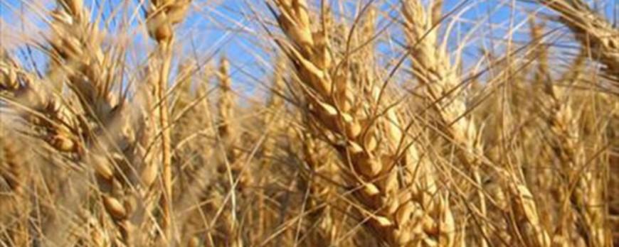 El precio de la cebada se dispara y el trigo baja levemente