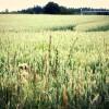 El precio de los cereales se apuntan un ascenso, gracias a la subida de la cebada