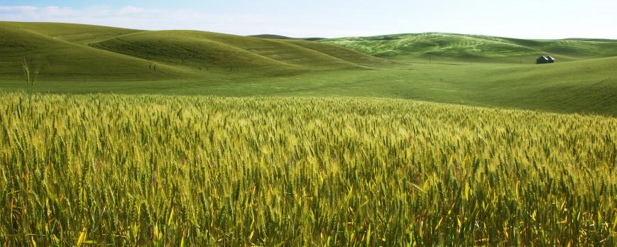 Los precios de los cereales continúan al alza, aunque más moderados