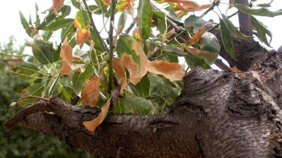 En Vall de Gaudalest impiden que se talen árboles afectados por la Xylella Fastidiosa