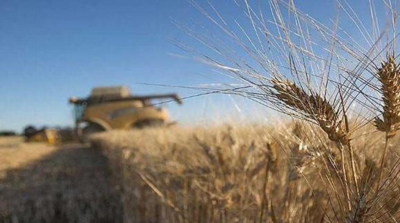 El trigo duro sube casi un 3% esta semana