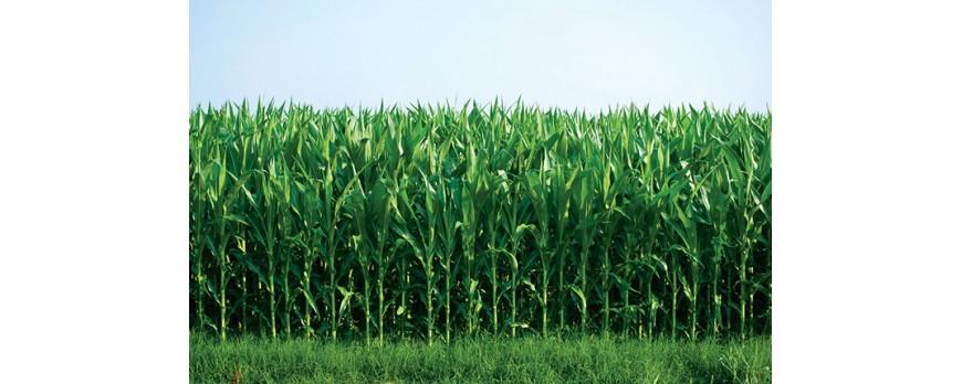 Ya se ha cosechado el total del maíz de León y el rendimiento es bueno aunque con bajos precios