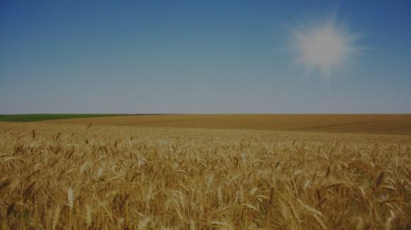 El trigo duro sigue aumentando su precio esta semana con dos euros por tonelada