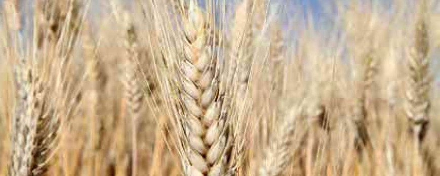 Otra semana más, el trigo duro sube de precio, aunque no el resto de cereales