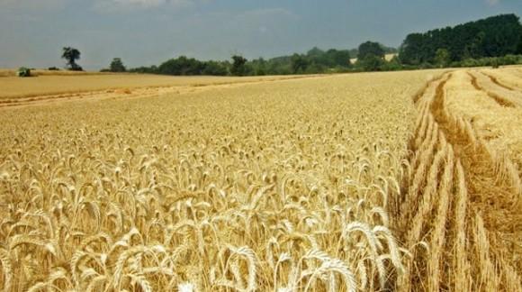 Continúa el descenso de precios en cereales, salvo al trigo duro y cebada