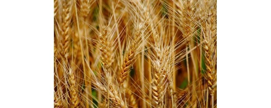 El precio medio del trigo duro continúa al alza como el resto de este año