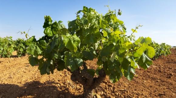 Asaja registra un 30% menos de producción vitivinícola en Castilla La Mancha