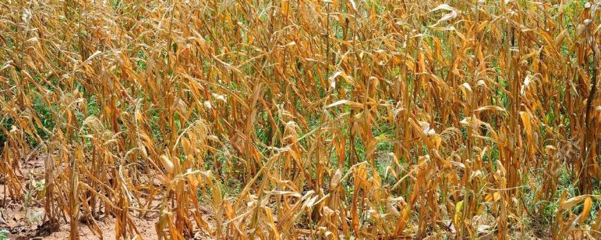 El maíz seco cotiza a 171 euros la tonelada en la lonja de León