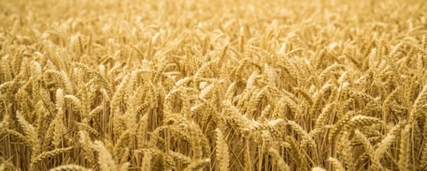 El precio de los cereales continúa a la baja, aunque son precios moderados