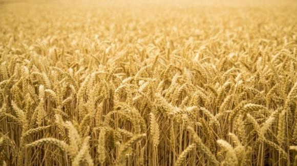 Después de semanas de subidas, el precio de los cereales cae nuevamente