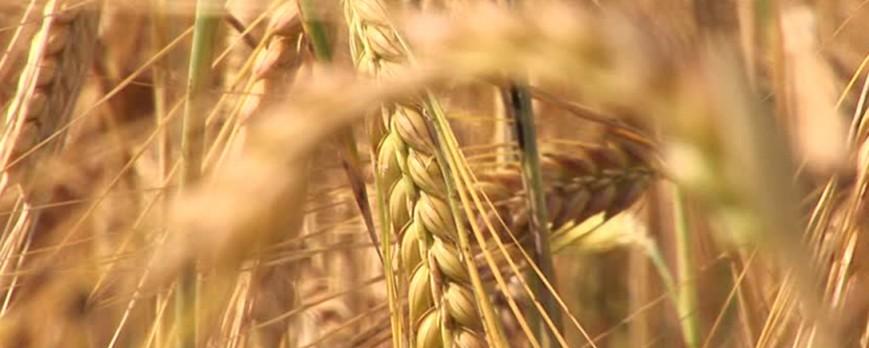 El precio de los cereales comienzan a subir, aun con el comienzo de la calor