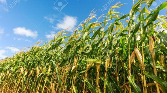 El maíz y el trigo duro suben sus precios, el resto de cereales no