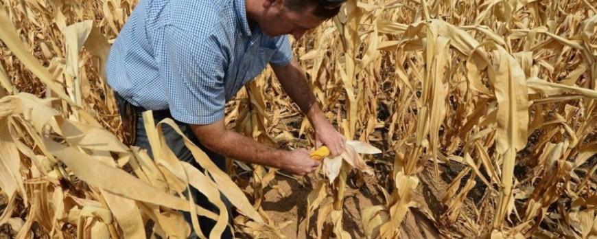 En Extremadura estiman un 10% de pérdidas en la producción de la campaña de maíz