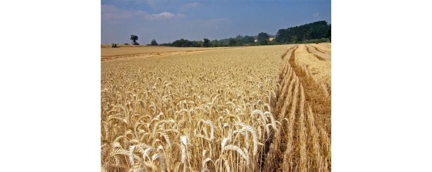 Los cultivos de secano podrían descender su producción un 50% en el sur de Europa