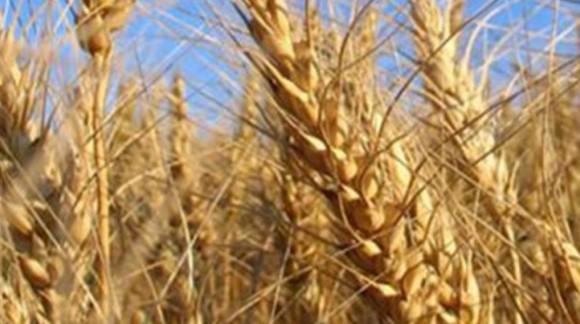 A excepción del maíz, el resto de cereales marcan sus precios al alza