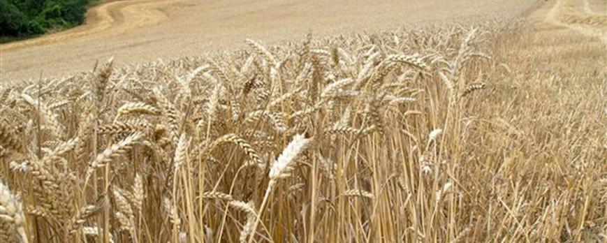 Nueva subida de los precios de los cereales en todas las variedades una semana más