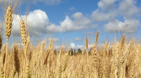 Salvo el trigo blando, el precio de los cereales cae en picado otra semana más