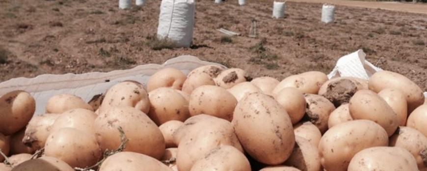 Comienza a cotizar la patata con precios por debajo de costes
