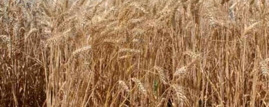 Nuevas subidas de precio en el mercado del trigo blando y cebada, mientras que otros cereales no despegan