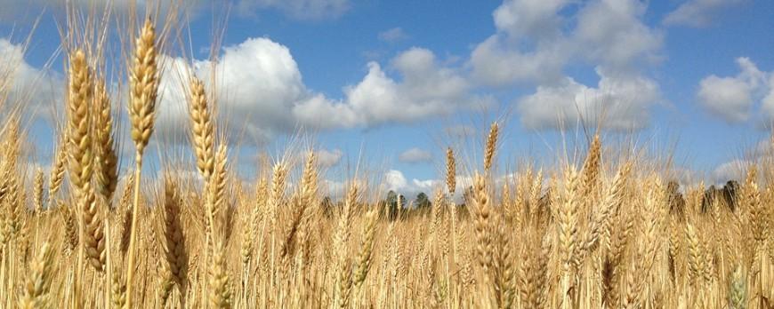 Sin novedades en el mercado de cereales, trigo blando y cebada suben precios