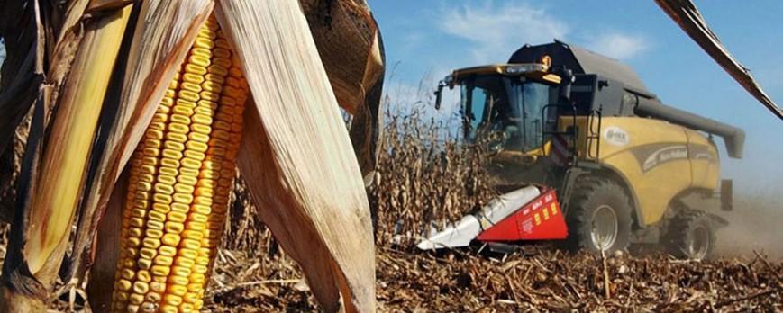 Está resultando mala campaña del maíz por el clima y los precios