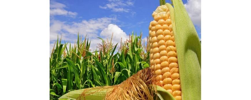 La producción mundial de maíz sube a la segunda máxima histórica
