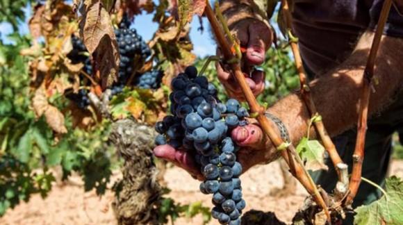 Se prevé un incremento del precio del vino por escasa vendimia