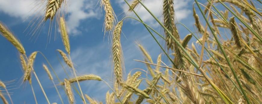 APAG Extremadura ASAJA critica la falta de ayuda sobre plagas de cereales